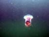 A jelly that made a visit on a shallow deco stop